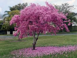 pink flower tree pretty in pink purple trees flowering trees and gardens