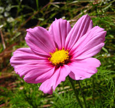 pink flower file pink flower 02 orcas jpg wikimedia commons