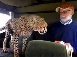 safari jeep front clipart cheetah leaps into safari jeep in kenya pics