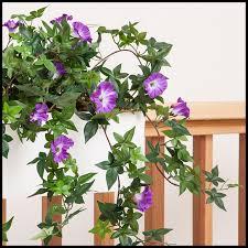 indoor vine plant 26in morning glory vine indoor rated purple vine flowers quality