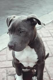 american pit bull terrier life expectancy 234 best doggies images on pinterest animals puppies and dogs