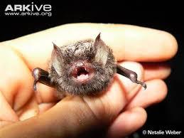 small bat small woolly bat photos and facts kerivoula intermedia