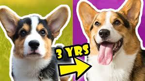 corgi corgi puppy vs dog comparison year 3 life after college