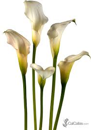 white calla lilies bulk white calla lilies fresh from california calcallas