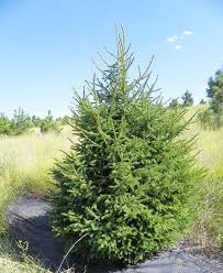 white spruce picea glauca tree facts habitat uses pictures