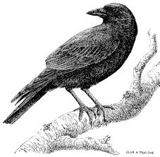 crows living with wildlife washington department of fish