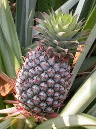 succulents meaning bromeliaceae wikipedia