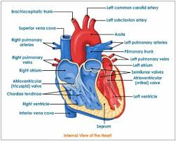 Diagram Heart Anatomy Interior View Of The Human Heart Heart Anatomy Interior View
