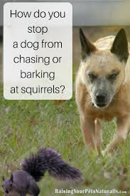 how to train dog to stop barking how do you stop a dog from chasing or barking at squirrels