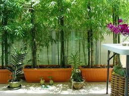 bambus fã r den balkon 89 best bamboo oh so images on landscaping