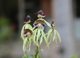 black orchid flower black orchid national flower of belize lower dover field journal