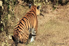 a tiger in her tank farmgirl arts