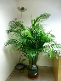 live indoor trees ficus for sale low light potted arabonradar info