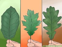 how to identify oak leaves with pictures wikihow