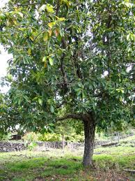 best 25 avocado tree care ideas on grow avocado tree
