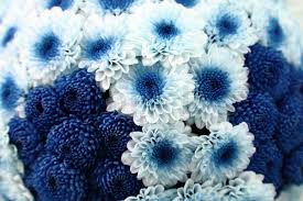 white and blue flowers white and blue flower background as texture stock