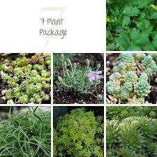fairy garden plants miniature plants for your fairy garden