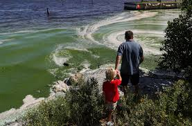slimy green beaches may be florida u0027s new normal