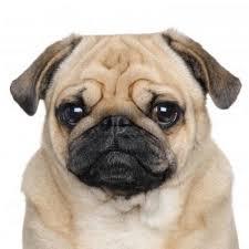 pug dog breed information pictures u0026 more