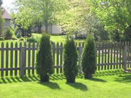 leighton green hedging cypress hello fence trees shrubs you can plant tall evergreen trees at the