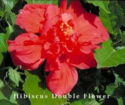 What Is The Meaning Of The Hibiscus Flower - hibiscus tree how to grow and care for a hibiscus plant