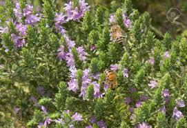 suce dans la cuisine thym avec abeille sucer le nectar des fleurs thym est épices