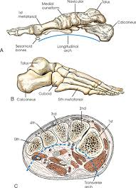 Os Calcaneus Lower Limb Radiology Key