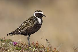 Alaska birds images American golden plover audubon field guide jpg