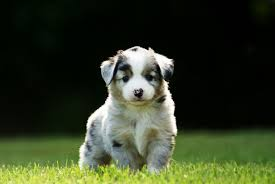 d b australian shepherds who u0027s your u0027teen wolf u0027 bae playbuzz