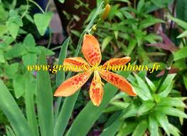 sorte de bambou graines et semences de fleur léopard ou iris tigré