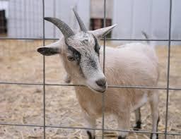 common goat diseases small farm animals