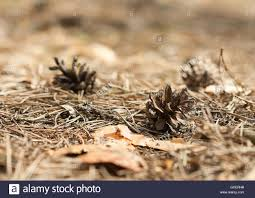 Floor Dry by Fallen Pine Cones Closeup On A Pine Forest Floor Covered By Old