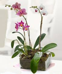dramatic orchid plants s day flowers