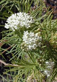 native plants of mexico asclepias linaria butterfly and bird garden pinterest plants
