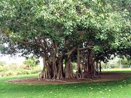 national tree of india indian national tree the banyan tree