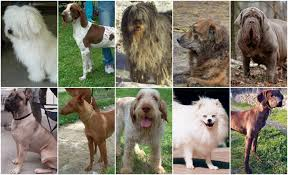 top ten italian dog breeds italy magazine