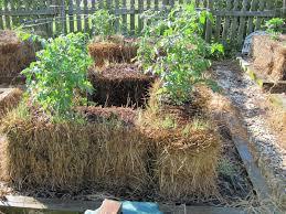 watering vegetable gardening in hay bales 1922 hostelgarden net