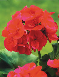 geranium calliope big red tesselaar