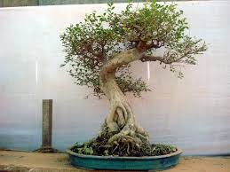 file bonsai tree jpg wikimedia commons
