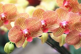 orchids pictures orchid flower meaning flower meaning