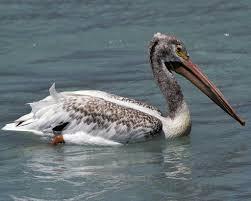 american white pelican audubon field guide