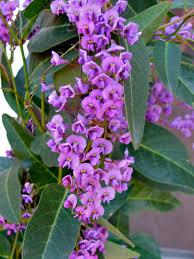 australian native climbing plants wisteria