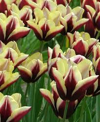tulip gavota triumph tulips tulips flower bulb index