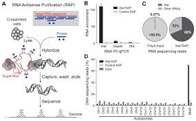 Rap Map The Xist Lncrna Exploits Three Dimensional Genome Architecture To
