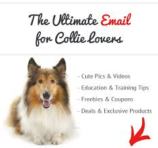 belgian sheepdog pros and cons pros and cons of collies see what real collie owners say