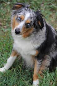 australian shepherd cost lake front acres our mini aussie familythese dogs are my
