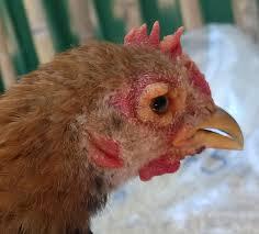 photos disease help backyard chickens