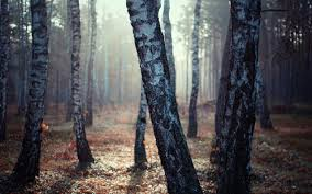 birch tree forest wallpapers 2560x1600 916239