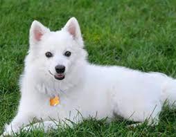 american eskimo dog tricks canadian dogs online american eskimo dog canadian dogs online