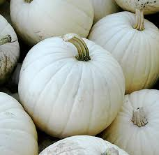 white pumpkins pumpkins lumina 95 days american seed co